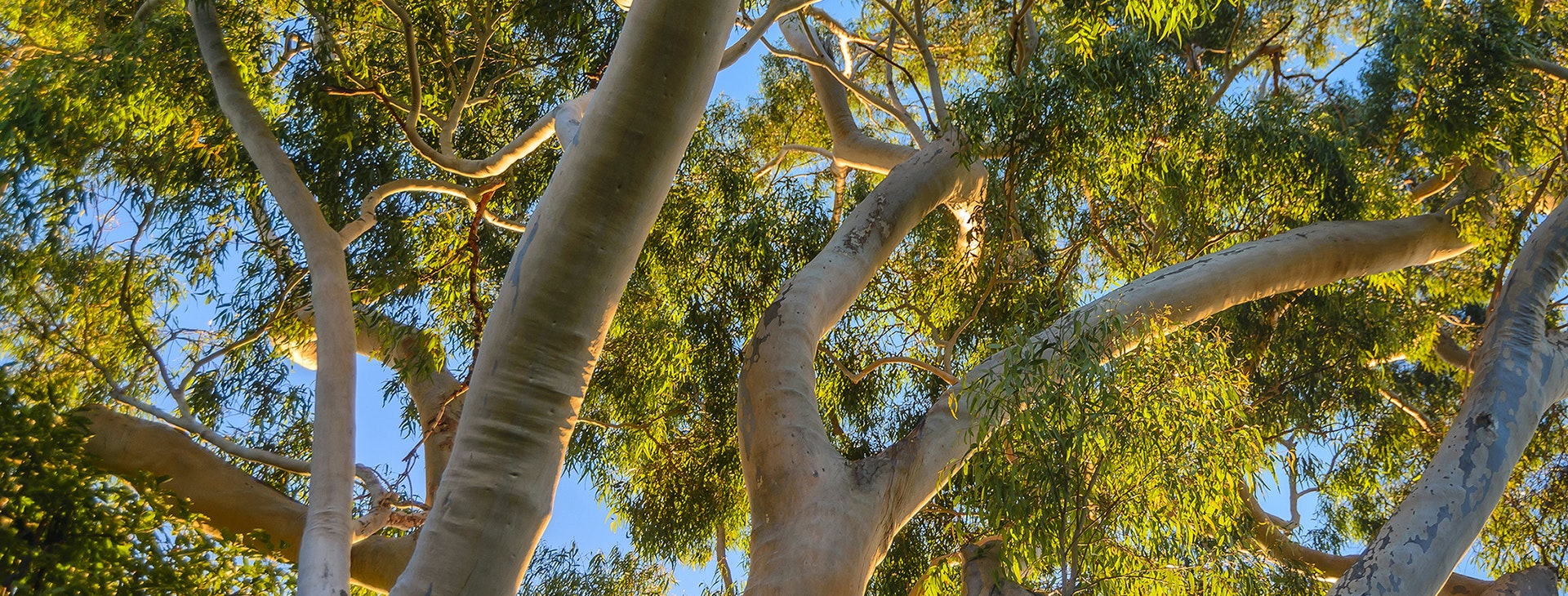 Give Me a Home Among the Gum Trees - Inquisitive Lesson